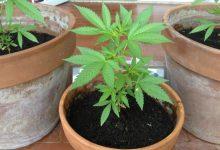 Carlentini| Coltivava marijuana: denunciato un trentunenne