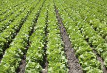Siracusa| Sorpresi a rubare ortaggi