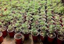Avola| Sequestrate 20 mila piantine di marijuana