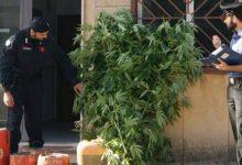 Sortino  Sequestrate undici piantine di marijuana