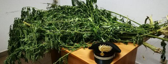 Lentini| Scoperta piantagione di canapa indiana: arrestato trentaduenne di Scordia