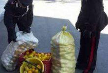 Melilli  Villasmundo ennesimo furto di limoni sventato dai carabinieri