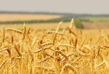 Roma| Approvata risoluzione della filiera del grano
