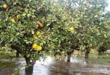 Lentini| Maltempo, Vinciullo: «Gli agrumeti affogano nell'acqua e l'assessorato regionale all'Agricoltura è assente»