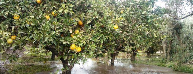Lentini  Maltempo, Vinciullo: «Gli agrumeti affogano nell'acqua e l'assessorato regionale all'Agricoltura è assente»