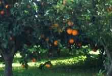 Francofonte  Carico di arance rubate nell'auto, pensionato catanese sorpreso e arrestato