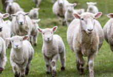 Lentini| È Pasqua, rubano tre agnelli. Tre rumeni in manette