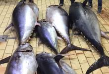 Siracusa| Maxisequestro di tonno rosso, 8.000 euro di sanzione al trasgressore