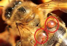 Sortino  Agli apicoltori presidi sanitari contro l'Acaro Varroa Destructor