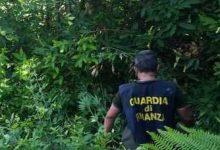 Carlentini  Individuata,  a distanza dì pochi giorni, un'altra piantagione di marijuana. Arrestato il responsabile
