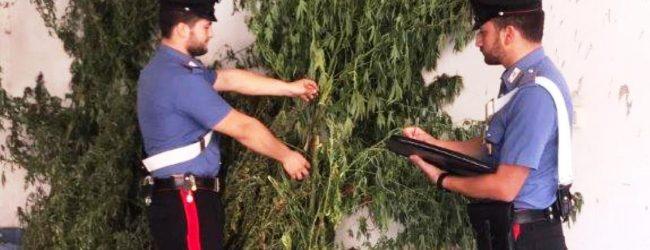 Francofonte | Scoperta un'altra piantagione di marijuana, in manette tre francofontesi