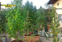 """Carlentini  La Guardia di Finanza individua una piantagione di marijuana """"skunk"""" di oltre mezzo quintale"""