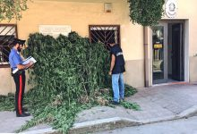Melilli  Piantagione di marijuana individuata dai carabinieri
