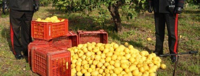Melilli  Cercavano di asportare circa 200 kg. di agrumi. Quattro persone arrestate