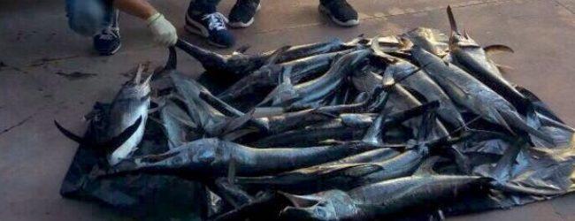 Siracusa| Sequestrati 16 esemplari di pesce spada sottomisura