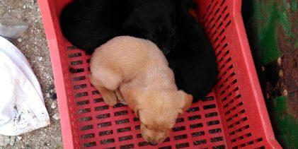 Portopalo| Carabinieri salvano tre cuccioli