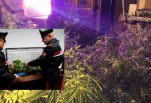 Augusta| Coltivava piante di marijuana: arrestato ventisettenne augustano.