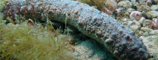 Portopalo| Denunciato pescatore abusivo di oloturie