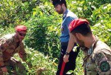 Francofonte | Scoperta piantagione di canapa indiana, in manette due braccianti agricoli