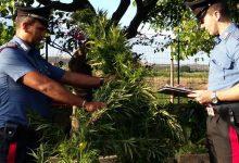Carlentini | Sorpresi a rubare piante di canapa, arrestati due lentinesi