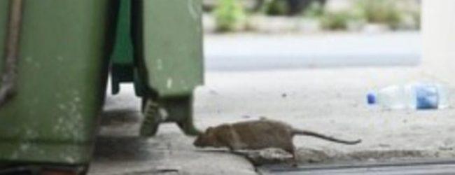 Siracusa| Via i topi dalla città. Iniziata la derattizzazione