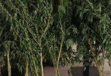 Avola | Scoperta piantagione di marijuana, denunciato il responsabile