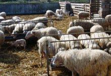 Lentini   Azienda zootecnica di contrada Biviere, anche un ovile senza autorizzazioni