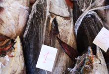 Augusta| Sequestrate oltre 2 tonnellate di tonno rosso contenute in un furgone.