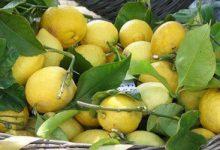 Augusta| Un uomo lentinese denunciato dalla polizia per furto di limoni