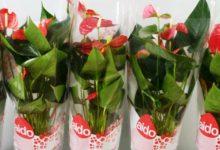 Lentini | Le piante di Anthurium andreanum per sostenere le attività dell'Aido