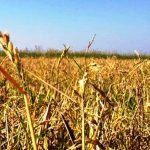 Lentini | «Risaie di Sicilia: il ritorno cent'anni dopo», sabato convegno di Slow Food