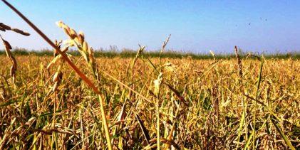 Lentini   «Risaie di Sicilia: il ritorno cent'anni dopo», sabato convegno di Slow Food