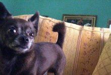 Augusta| Chihuahua sbranato da un grosso cane: la padrona finisce in ospedale