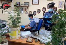 Ferla| Arrestato per possesso di 4 piante di canapa indiana