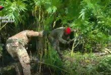 Augusta  Sequestro piantagione di canapa indiana e due arresti