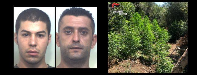Melilli| Sequestrata piantagione di canapa indiana. Arrestati due sortinesi