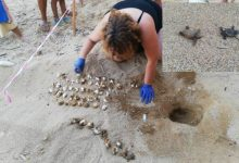 Siracusa| Tartarughe Caretta caretta: a Ognina la prima schiusa delle uova