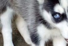 Francofonte | Il Siberian Husky maltrattato, denunciato un 25enne