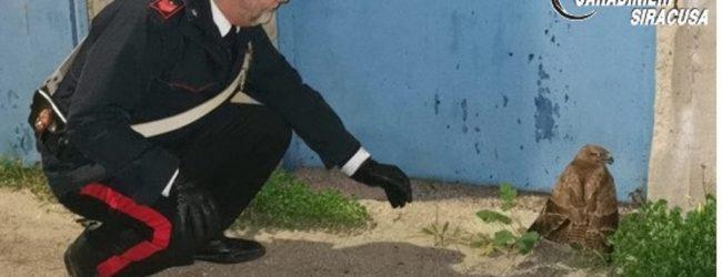 Avola| Salvato dai carabinieri un esemplare di Poiana