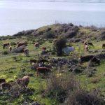 Augusta | Mucche al pascolo a Punta Izzo. Insorgono gli ambientalisti, la Marina militare risponderà nelle sedi opportune.