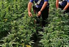 Lentini | Mini piantagione di canapa indiana tra gli alberi, denunciato agricoltore