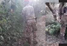 Carlentini | Rinvenuta un'altra piantagione di canapa indiana. Arrestato un 58enne