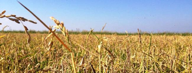 Lentini   Alla scoperta delle risaie di contrada Cuccumella, iniziativa di Slow Food