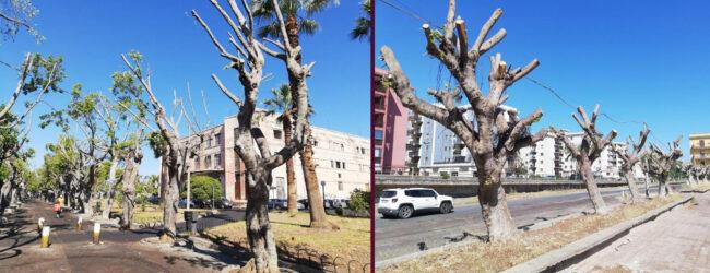 """Augusta   Potatura """"selvaggia"""" di alberi denunciata da Natura Sicula alla Procura"""